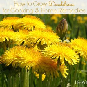 How to Grow Dandelions for Cooking & Home Remedies